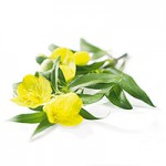 primrose-banner